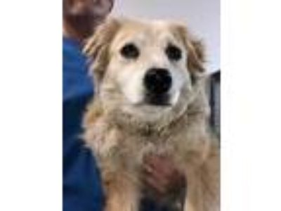 Adopt Athena a Tan/Yellow/Fawn Spaniel (Unknown Type) / Mixed dog in Santa