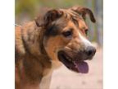 Adopt Skip-83289 a Tan/Yellow/Fawn Shepherd (Unknown Type) / Rottweiler dog in