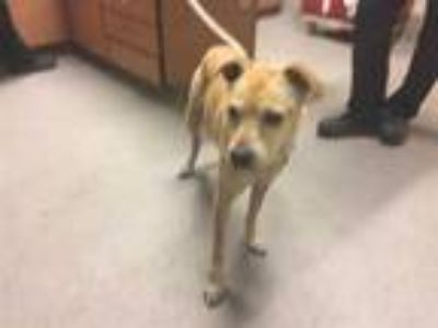 Adopt SHEBA a Tan/Yellow/Fawn Jack Russell Terrier / Mixed dog in Modesto