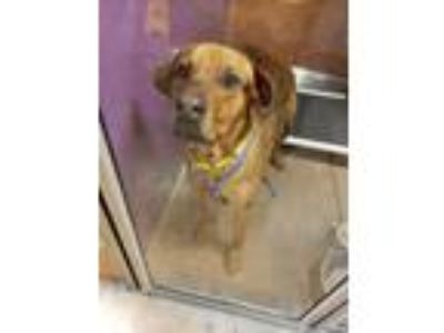 Adopt Bubba a Red/Golden/Orange/Chestnut Labrador Retriever / Mixed dog in