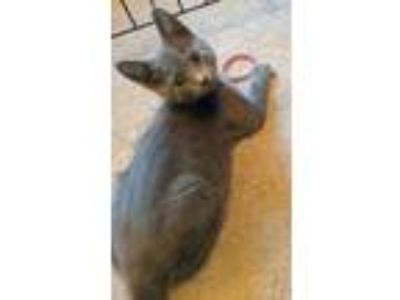 Adopt Guthrie a Gray or Blue Domestic Shorthair / Domestic Shorthair / Mixed cat