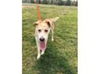 Adopt ALEAH a Tan/Yellow/Fawn Labrador Retriever / Mixed dog in Tangent