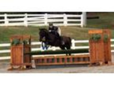 Free Lease 15 Hands 12 Years Quarter Horse
