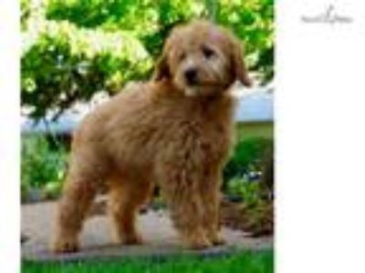 Domino Adorable Mini Goldendoodle Puppy Ready