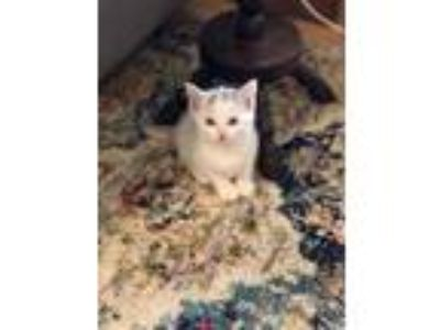 Adopt Reece a White Domestic Shorthair / Domestic Shorthair / Mixed cat in