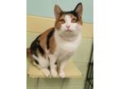 Adopt BELIZ a Calico, Domestic Short Hair