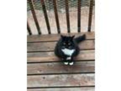 Adopt Charlotte a Black & White or Tuxedo Domestic Mediumhair cat in Salem