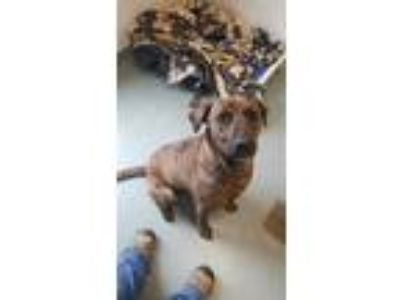 Adopt Dori a Brown/Chocolate Hound (Unknown Type) / Mixed dog in BATH