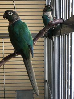 Turquoise Conure Breeding Pair