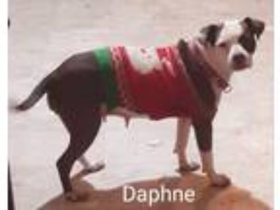 Adopt Daphne a Red/Golden/Orange/Chestnut - with White American Pit Bull Terrier