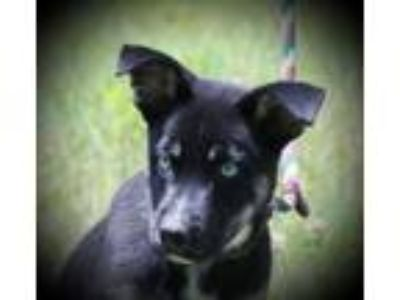 Adopt Gnocchi B a German Shepherd Dog, Husky