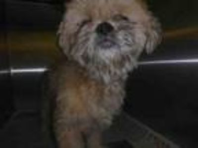 Adopt DIAMOND a Mixed Breed, Shih Tzu