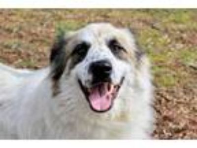 Adopt WYATT a Great Pyrenees, Border Collie