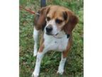 Adopt Ellie a Tricolor (Tan/Brown & Black & White) Beagle / Mixed dog in Winder