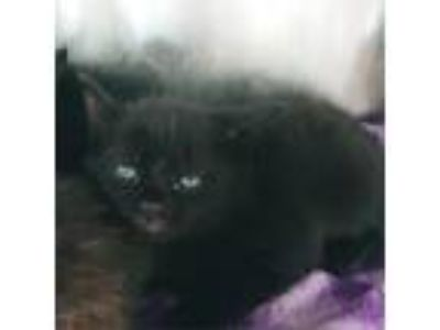 Adopt Welly a All Black Domestic Shorthair cat in Atlanta, GA (25648381)