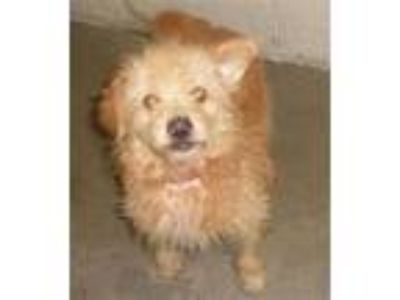 Adopt a Red/Golden/Orange/Chestnut Jack Russell Terrier / Mixed dog in San Luis