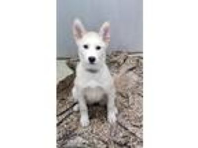 Adopt Nala a Siberian Husky, Mixed Breed