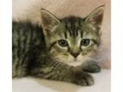 Adopt Copperfield a Domestic Shorthair / Mixed cat in Atlantic City