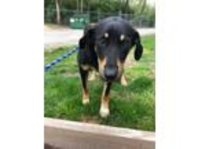 Adopt Mitchell a Hound, Mixed Breed