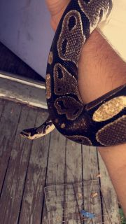 Ball python comes with everything