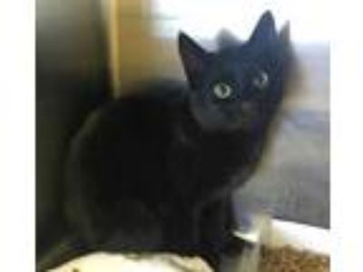 Adopt *MIA a All Black Domestic Shorthair / Mixed (short coat) cat in
