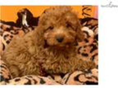 Koda Cute Cavapoo Puppy for sale Bayside Flushing