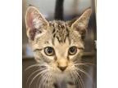 Adopt Pen 3 a Domestic Short Hair