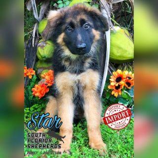 German Shepherd Dog PUPPY FOR SALE ADN-102255 - Imported Long Coat German Shepherd puppy