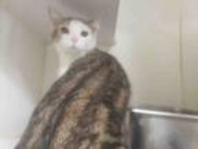 Adopt GARRICK a Domestic Short Hair