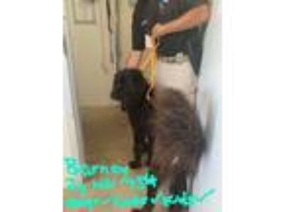 Adopt Barney a Great Pyrenees