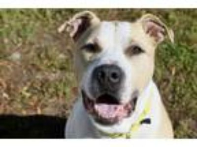 Adopt Grover a Pit Bull Terrier