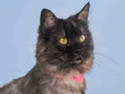 Adopt KRIS a Gray or Blue Domestic Mediumhair / Mixed (medium coat) cat in