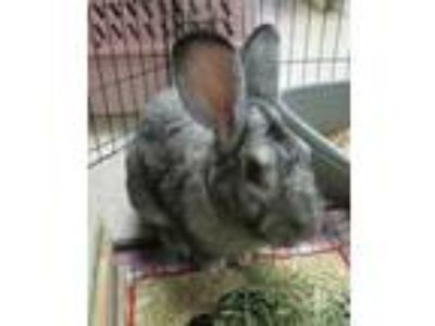 Adopt Roger (Cocoa Cen a Grey/Silver Lop, English / Lop, English / Mixed rabbit