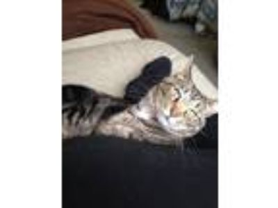 Adopt Simba a Gray, Blue or Silver Tabby Domestic Shorthair / Mixed cat in