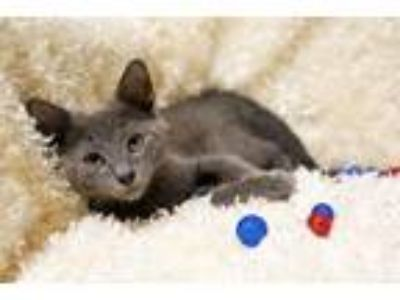 Adopt Chino a Gray or Blue Russian Blue / Mixed (medium coat) cat in Buford