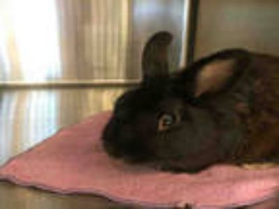 Adopt a Black Other/Unknown / Mixed rabbit in Plano, TX (25743241)