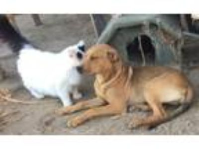 Adopt Prudence (Prue) a Red/Golden/Orange/Chestnut Rhodesian Ridgeback /