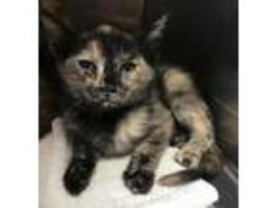 Adopt Ember a Domestic Shorthair / Mixed cat in Cottonwood, AZ (25287125)