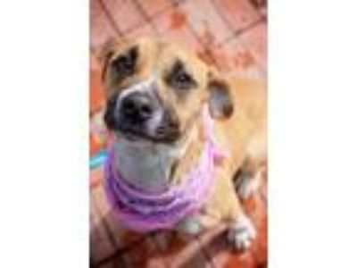 Adopt KIWI a Tan/Yellow/Fawn American Pit Bull Terrier / Mixed dog in Converse