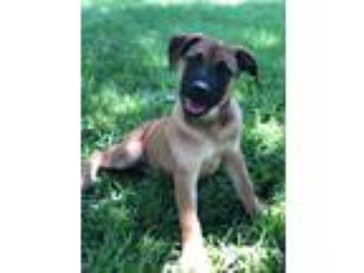 Adopt Allie a Tan/Yellow/Fawn - with Black Anatolian Shepherd / Mixed dog in