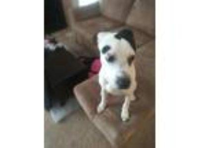 Adopt Belle a Black - with White Labrador Retriever / Dalmatian / Mixed dog in