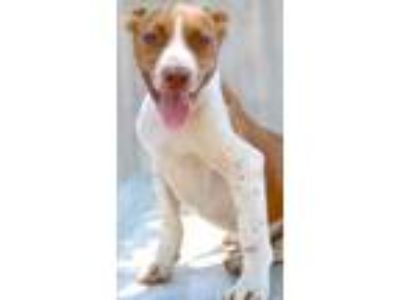 Adopt TRIXIE a White Terrier (Unknown Type, Small) / Mixed dog in Shreveport