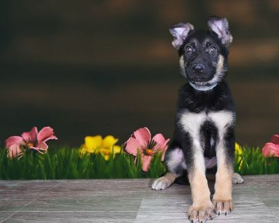 AKC Female German Shepherd Dog