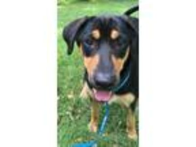 Adopt Bear a Doberman Pinscher, Labrador Retriever