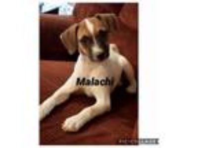 Adopt Malachi a Beagle, Jack Russell Terrier
