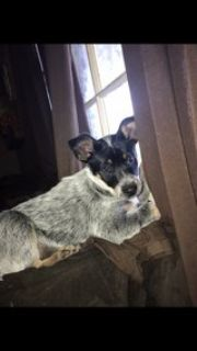 4 month old female blue heeler puppy