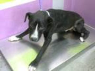Adopt JUSTIN a Black - with White Labrador Retriever / Border Collie / Mixed dog