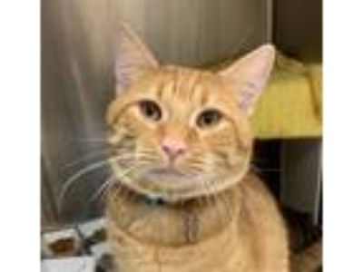 Adopt Milhouse a Domestic Shorthair / Mixed cat in Sherwood, OR (25290451)