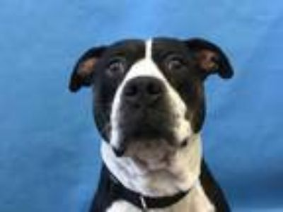Adopt Sloane a Black American Pit Bull Terrier / Mixed dog in Golden Valley