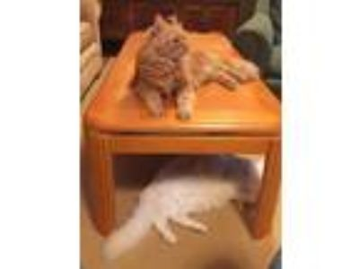 Adopt Coon Mix father/son duo a Maine Coon, Domestic Medium Hair